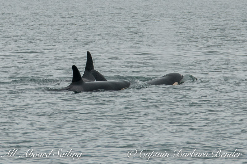 Whale watch sailing with three generations of a  Southern Resident Killer Whale Family