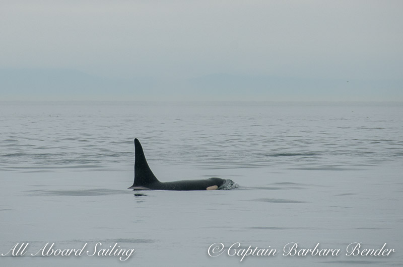 Whale watch sailing with L87 Onyx