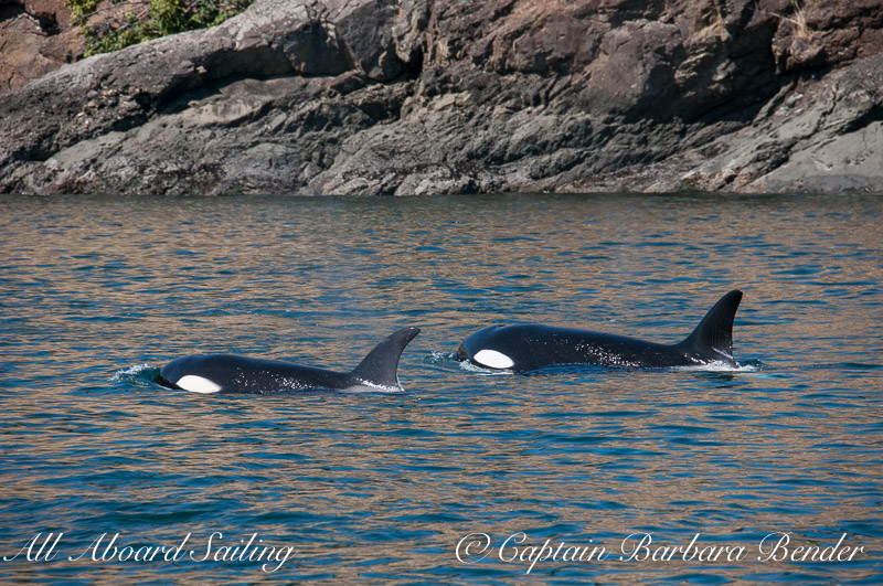 Transient Orcas T49A3 and mum T49A