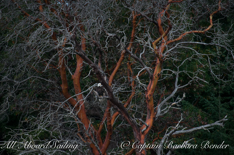 Bald Eagle on Madrone