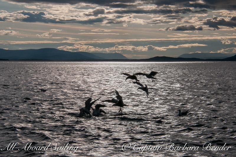 Gulls at Bait Ball at sunset