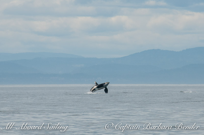 Southern Resident Orca  J34 Doublestuf breaching