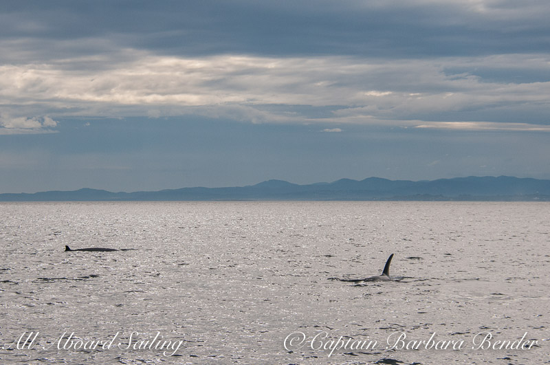 Minke whale and Orca hanging out together