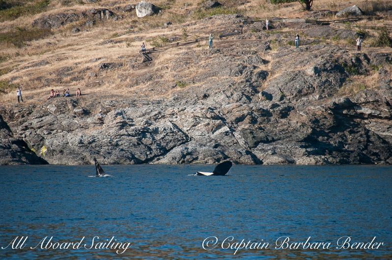 L87 and J34 waving at folks shore based whale watching at Land Bank