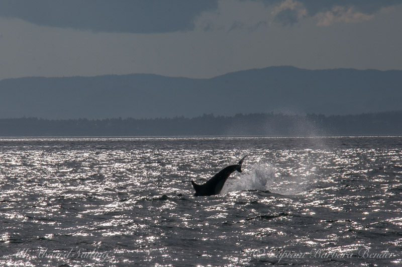 Orca cartwheel