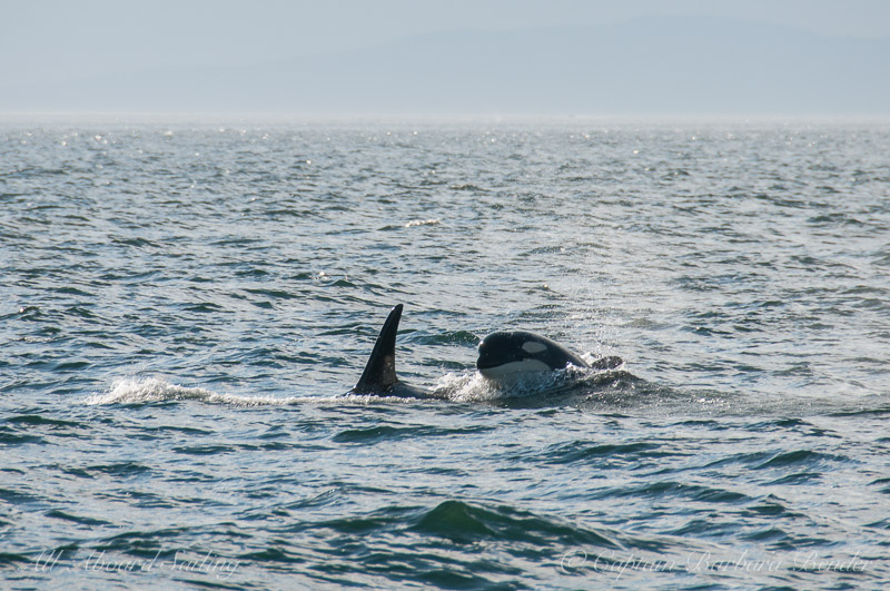 Orcas headed our way