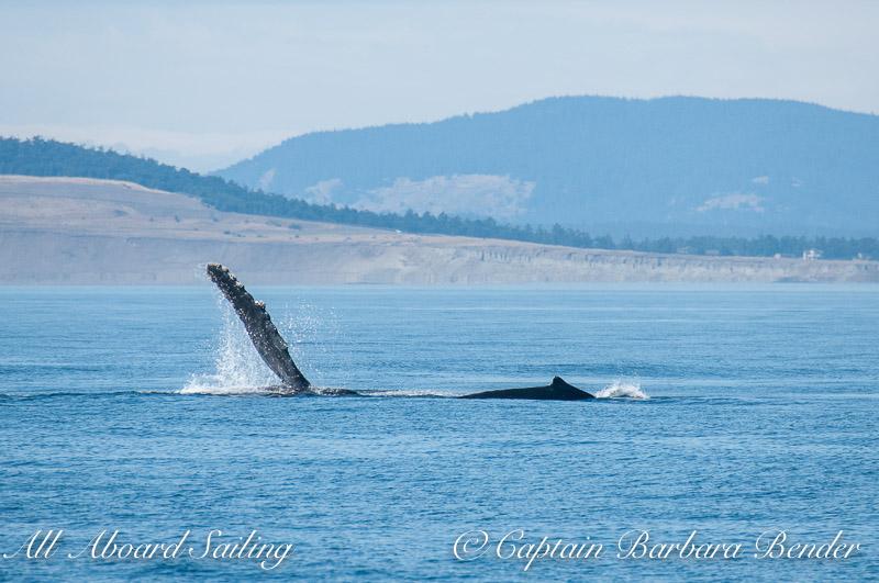 Pectoral Fin Slap Humpback Whales