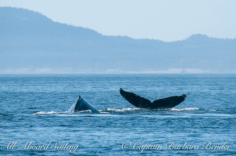Fluking Humpback Whales