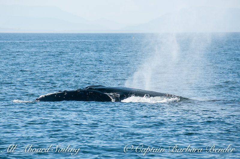Humpback Whale Watch