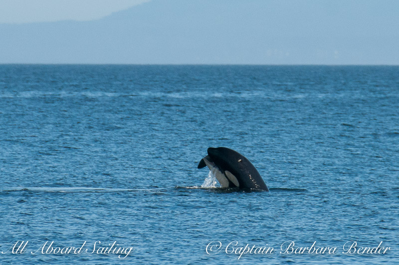 L119 Joy Southern Resident Orca with Harbor Porpoise