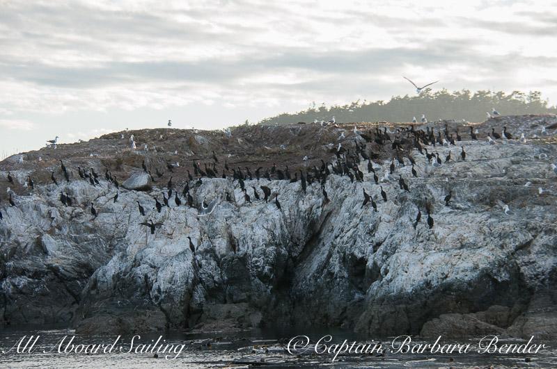 Goose Island Cormorant Rookery