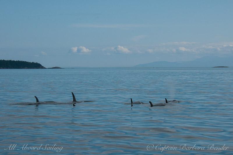 Barbara's favorite Transient Orca photo