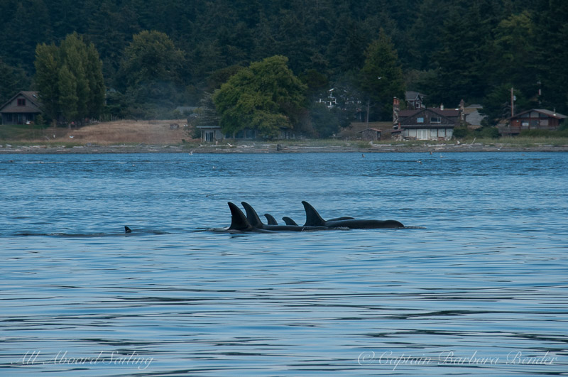 Two Transient Orca families together