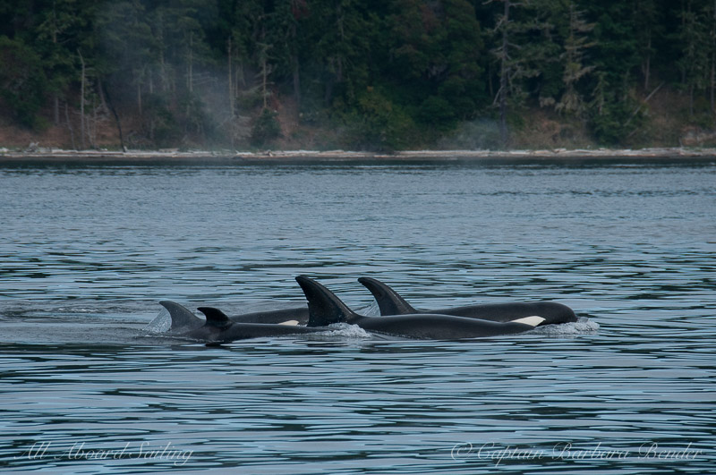 All Aboard Sailing Published by Barbara Bender Page Liked · July 20 · Edited  ·     Mix of  Transient Orca families T37As and T65As