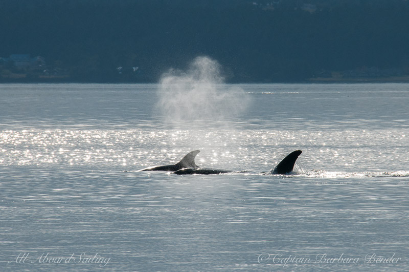 backlit blows of Transient Orcas