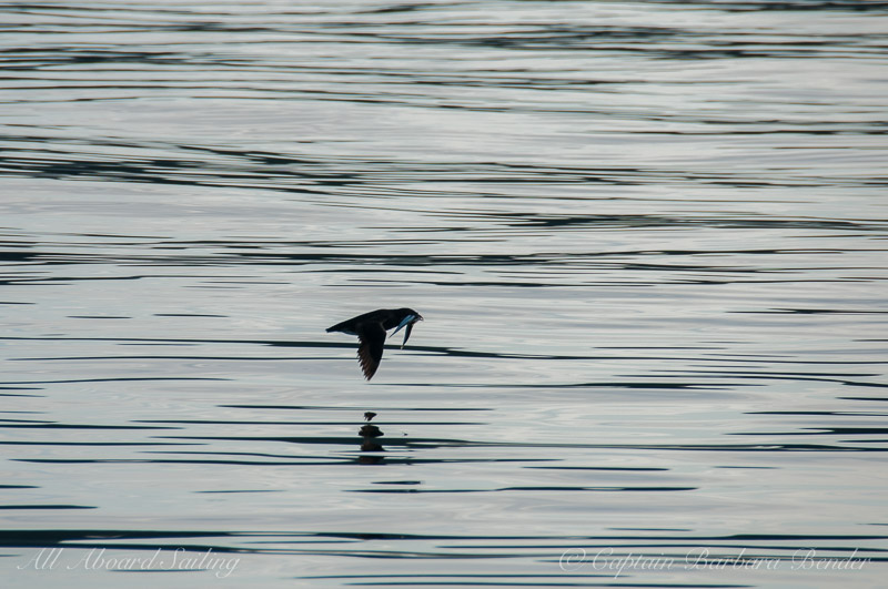 Rhinoceros auklet coming back from the store
