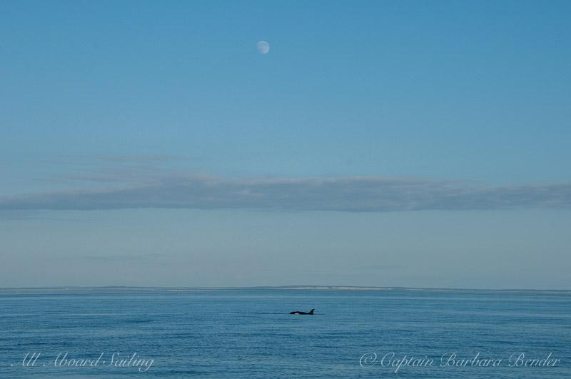 Orca under nearly full moon
