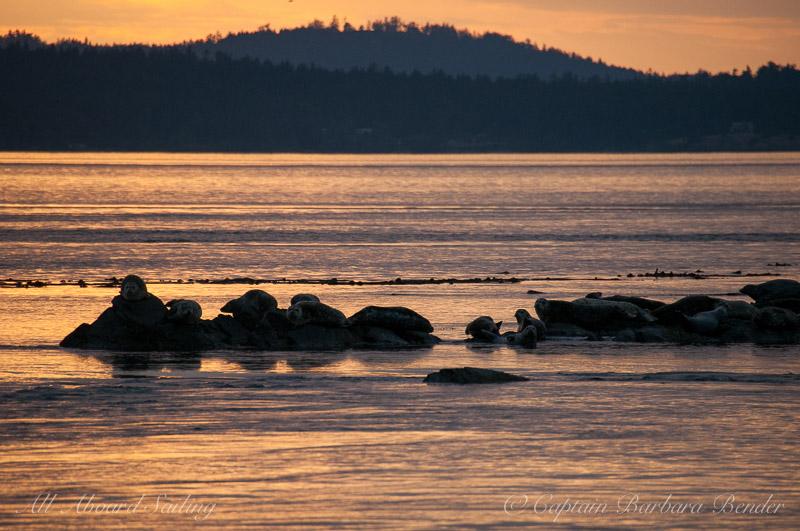 Harbor seals near Deadman's Island, Lopez Island