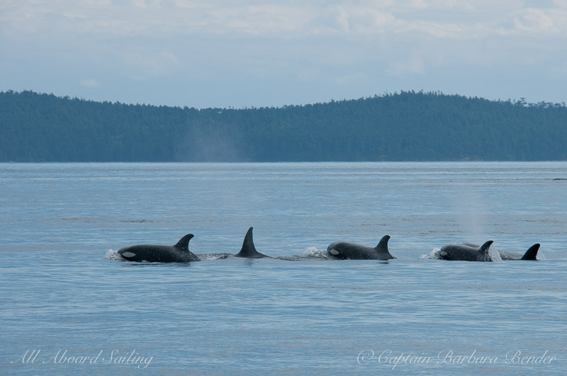 Transient Orcas T65A's and T37A's after passing Friday Harbor