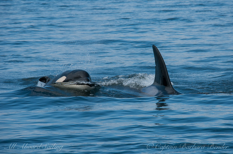 Transient Orcas T37A with newest calf, T37A4