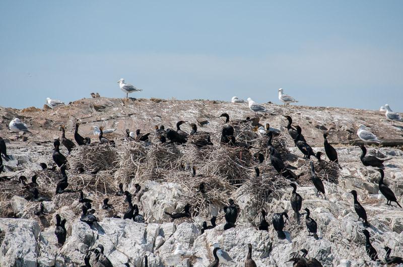 Pelagic Cormorants of Goose Island, San Juan island