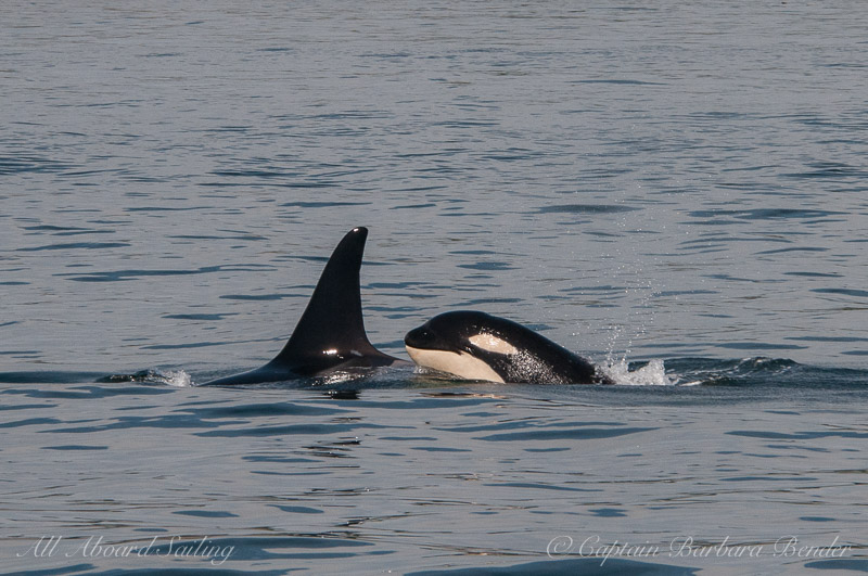 Southern Resident Orcas L94 Calypso with calf, L121 Windsong