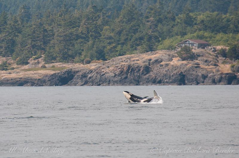Southern Resident Orca L119 Joy breaching