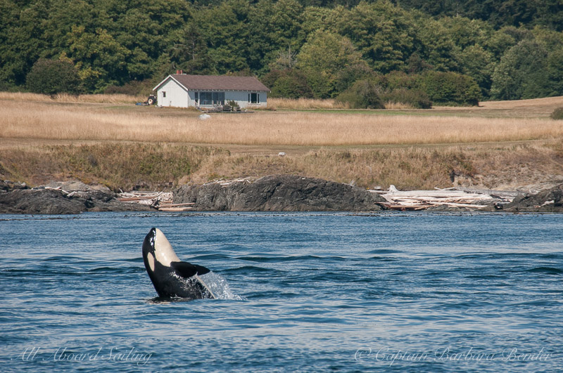Southern Resident Orca L119 Joy with a half breach