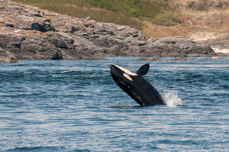 Southern Resident Orca L119 with another half breach