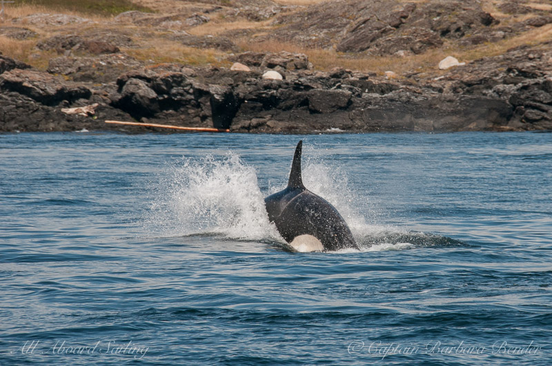 Southern Resident Orca Chasing a fish