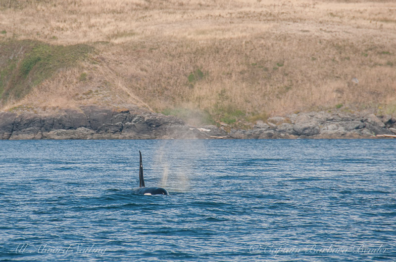 Southern Resident Orca L89 Solstice foraging off the southern end of San Juan Island