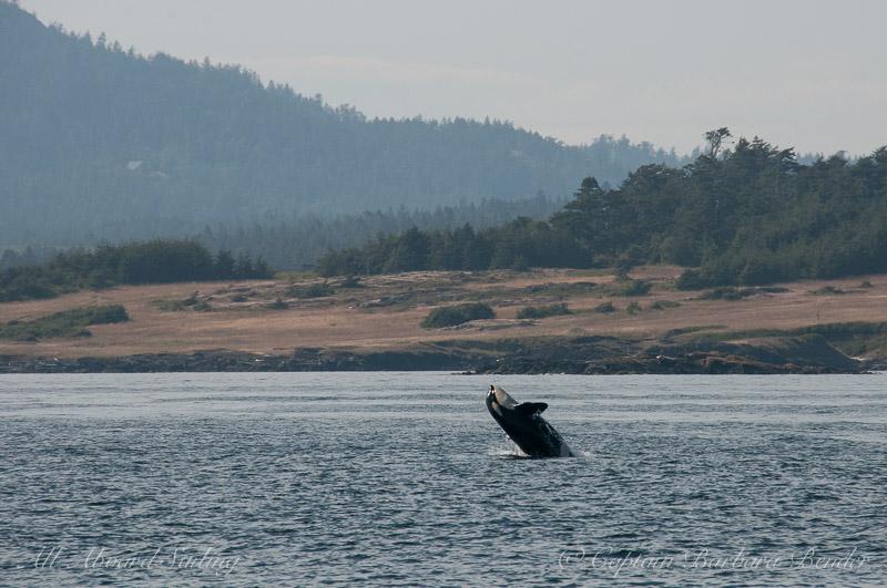 Southern Resident Orca  half breach