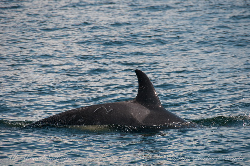 Southern Resident Orca L121 Windsong with interesting scars