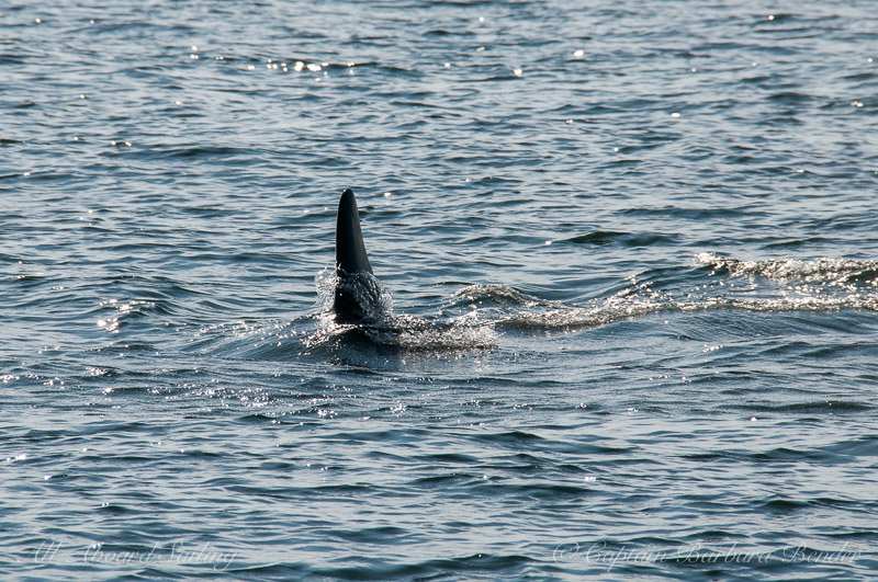 Southern Resident Orca L94 'sharking'