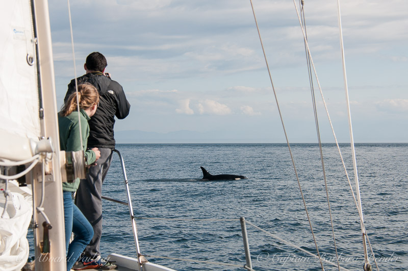 vWhale watching Sailing
