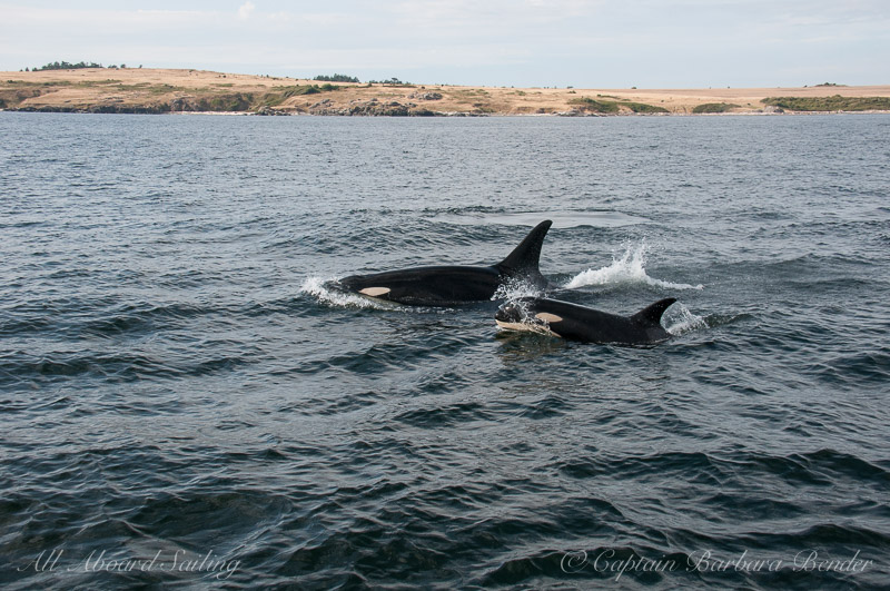 Southern Resident Orca L94 traveling with L121