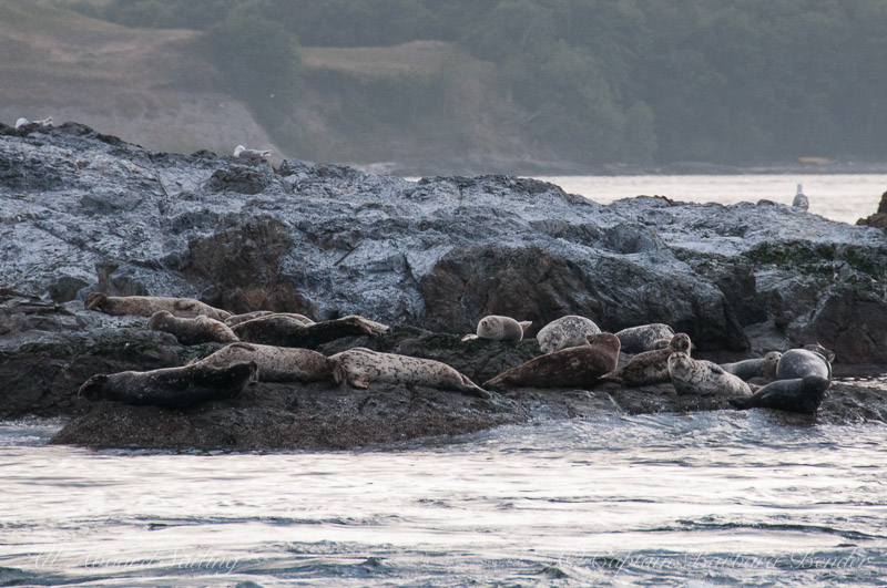 Harbor Seals on Whale Rocks