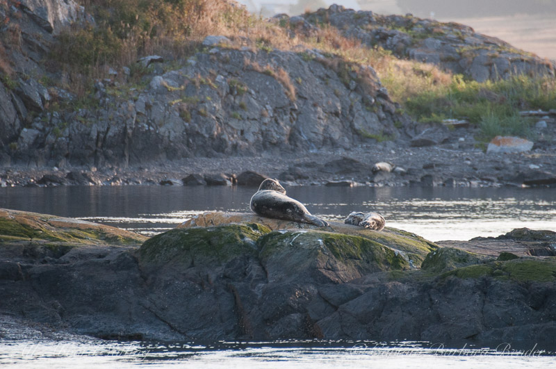 Harbor seal resting with her new pup