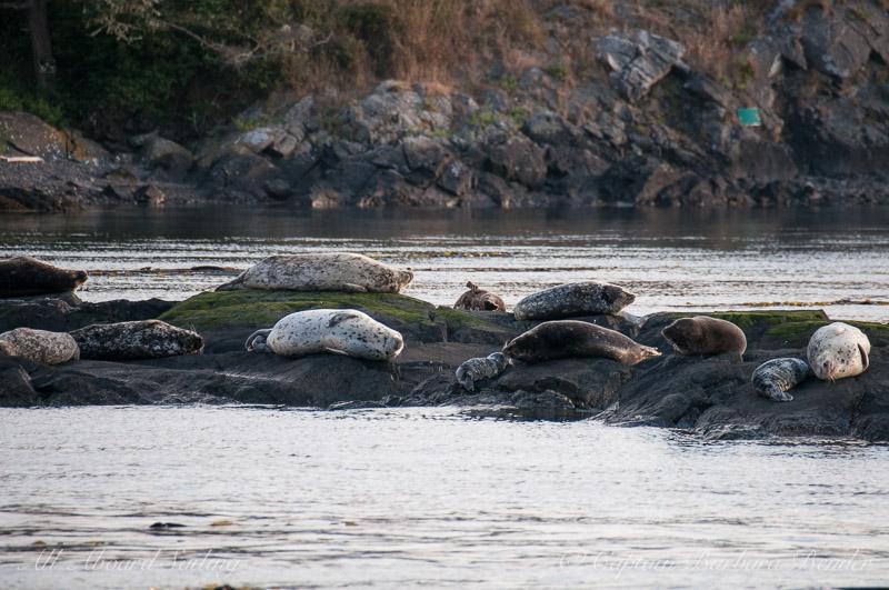 Harbor seals on Deadman's Island