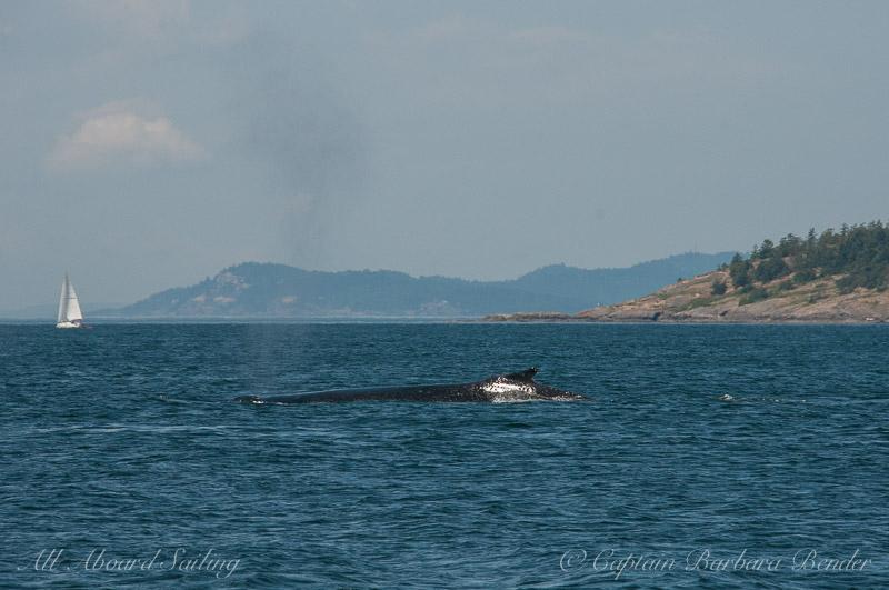 Humpback Whale, Jones island