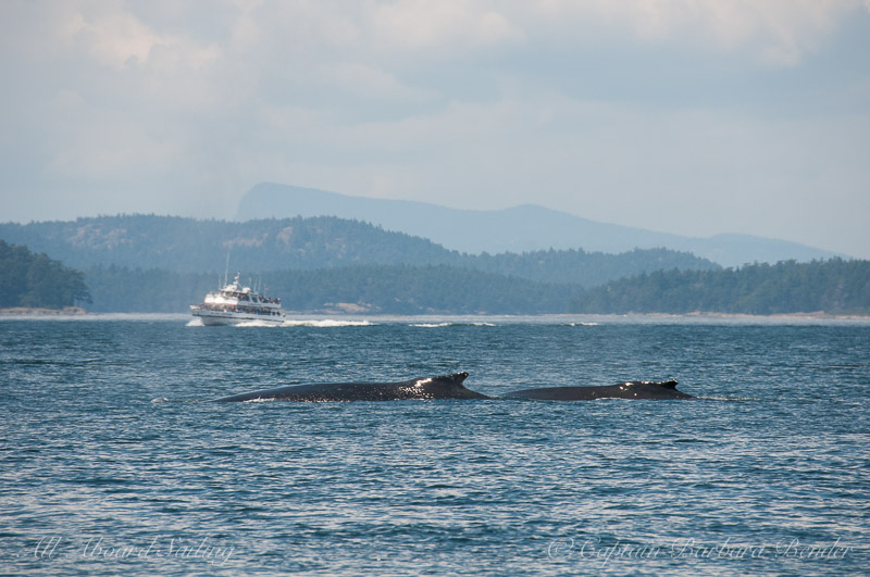 Pair of Humpback whales travel together down Presidents Channel to San Juan Channel and passed Friday Harbor