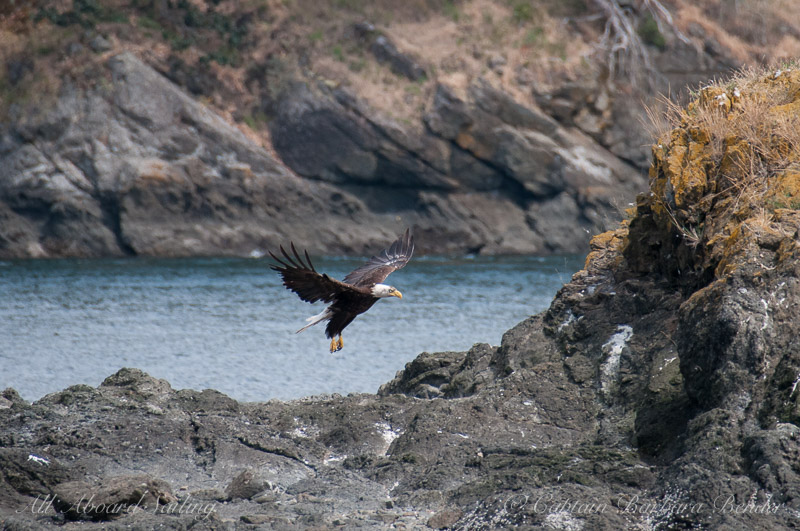 Bald Eagle lands on Sentinel Rock