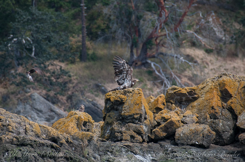 Juvenile Bald Eagle and Pacific Oyster Catcher, Sentinel Rock