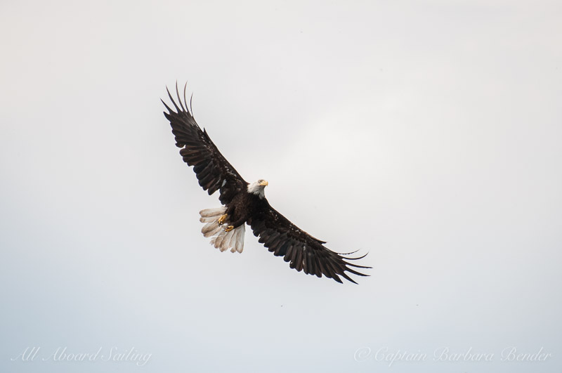 Bald Eagle flies over us