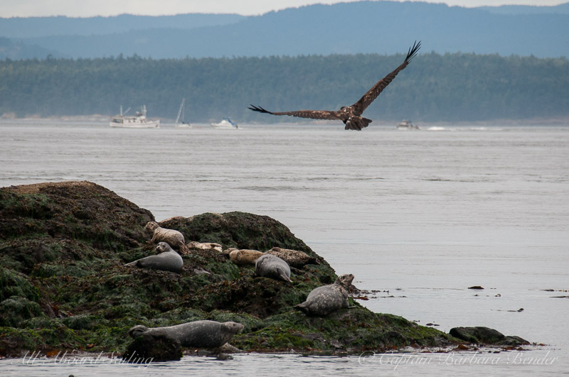 Harbor seals watching the juvenile bald eagle flying overhead