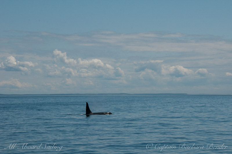 Southern Resident Male Orca L41 Mega