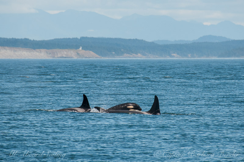 Southern Resident Orcas L94 with offspring L113 and L121 - Cattle Point Lighthouse in the distance