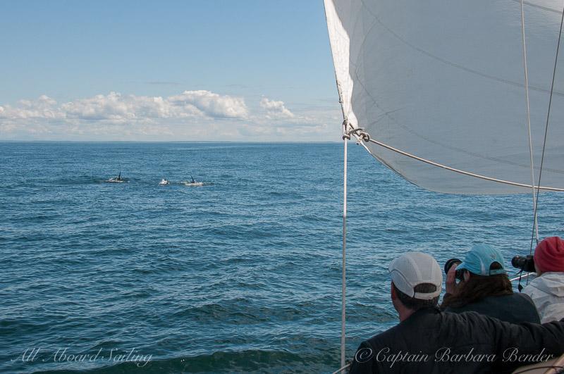 Whale watching Sailing San Juan island