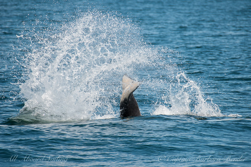Southern Resident Orca Massive tail lob