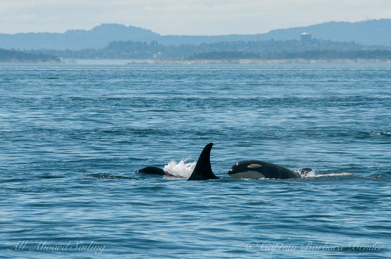 Some of the J16's Southern resident Orcas